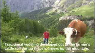 Brown Swiss Ascending the Alps