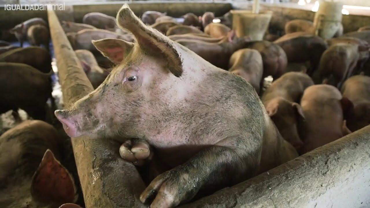 Investigación de Igualdad Animal muestra MALTRATO ANIMAL en una granja de cerdos en Brasil