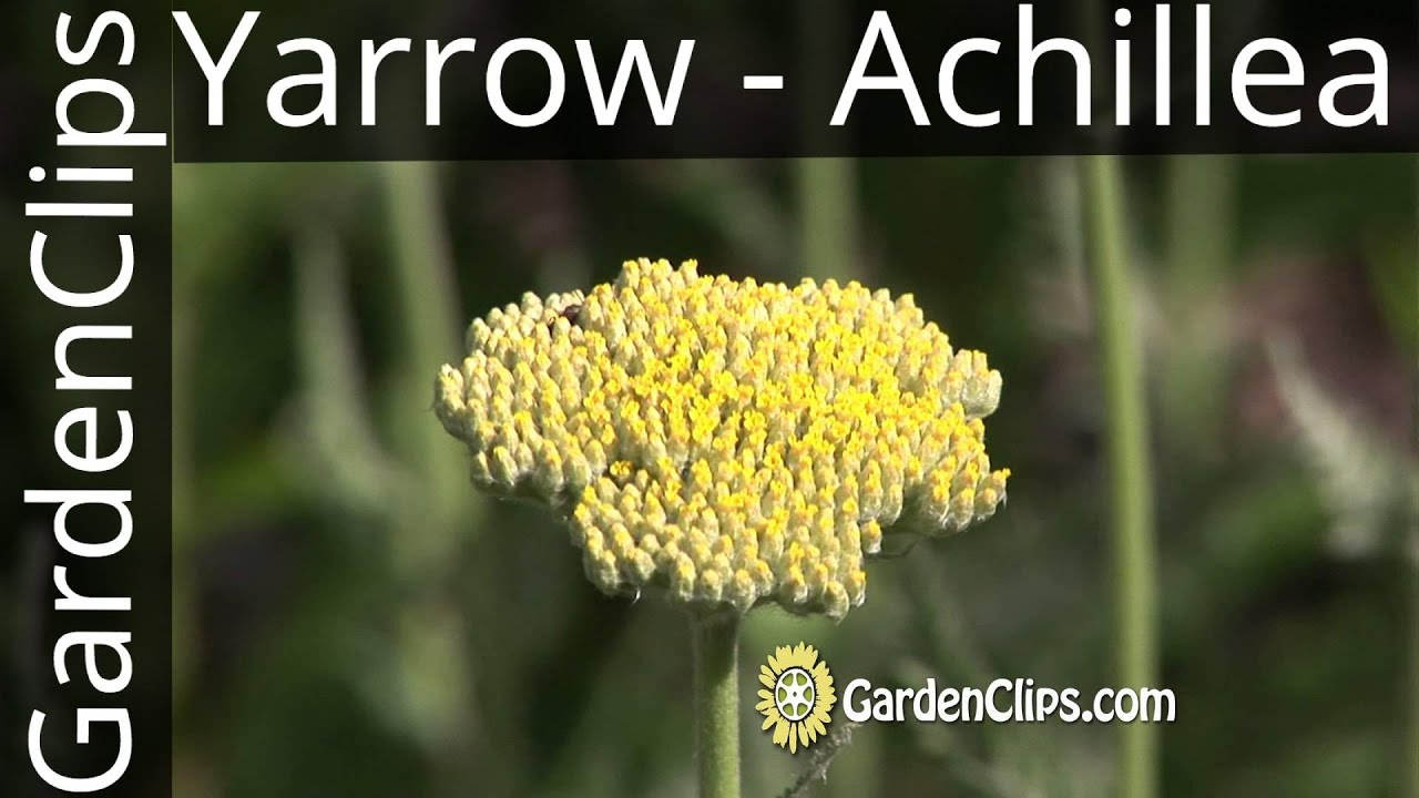 Yarrow Achillea Millefolium And Other Species How To Grow