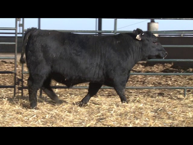 Schiefelbein Angus Farms Lot 150