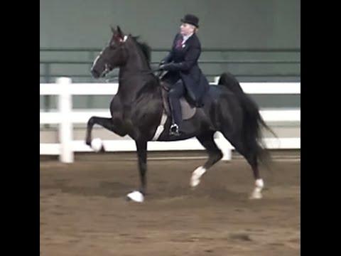 American Saddlebred, five-gaited mare, American Saddlebred Show horse Show horse, Dixie Cup 2016