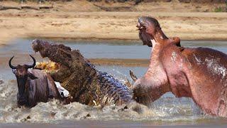 Top Hippopotamus Triumphant Strength With Other Predators Like Crocodiles, Tigers, Lions...