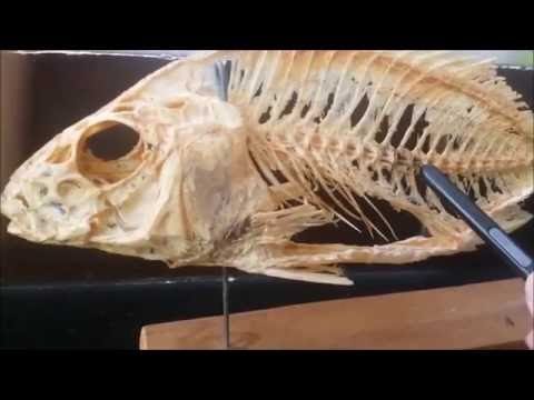 CVA : ENDOSKELETON OF A BONY FISH