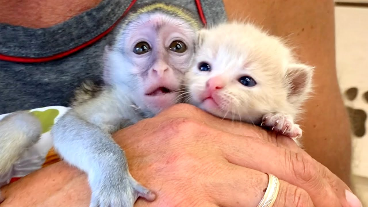 Dad, this is the best nanny! - The first meeting of kitten and monkey Susie
