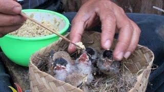 DUNIA HOBI : Resep Bubur Makyuss Buat Piyik Burung Ocehan (HANDFEEDING LOVEBIRD & CANARY)