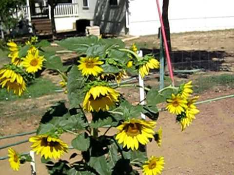 Green Garden Tips Growing Sunflowers Youtube
