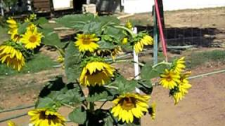 Green Garden TIPS: Growing Sunflowers