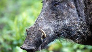 Дикий кабан - Wild boar (Энциклопедия животных)