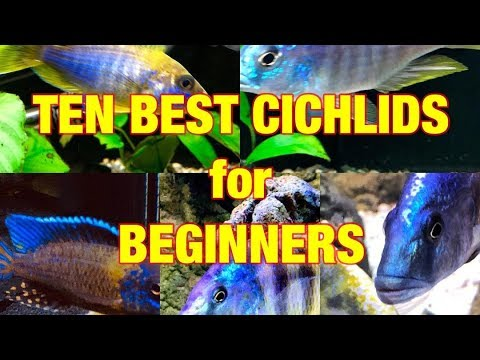 10 Best Cichlids for Beginners!