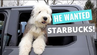 Our Old English Sheepdog wanted a puppacino.