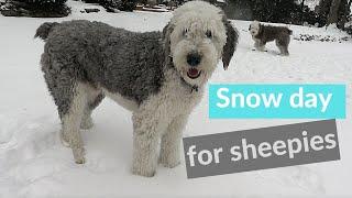 Old English Sheepdog Snow Day