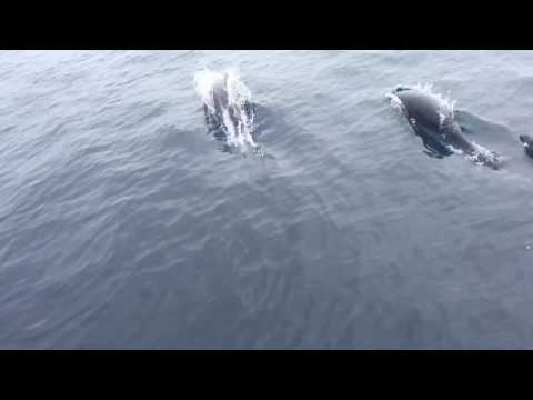 Northern Right Whale Dolphins ~ Monterey Bay