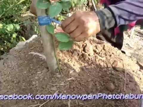 #การปลูกมะนาว   เตรียมดิน วิธีปลูก สวนลมทุ่ง  ( Lime )