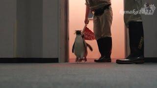 サンピアザ水族館 気合入ってるキタイワトビペンギンガイドツアー