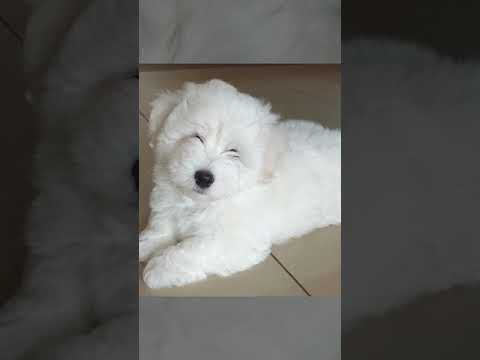 Coton de Tulear puppies looking for new and loving home