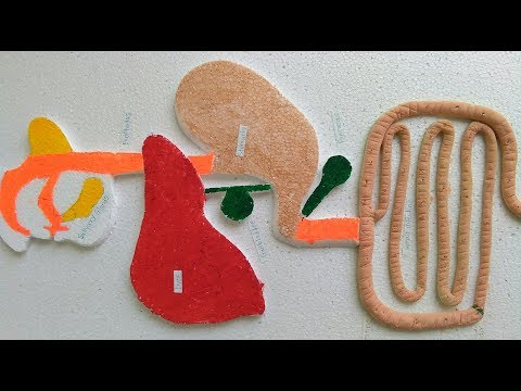 How to make digestive system model