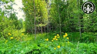 Успокаивающий смешанный лес и пение птиц. Соловей кукушка дрозд. 12 Часов видео.