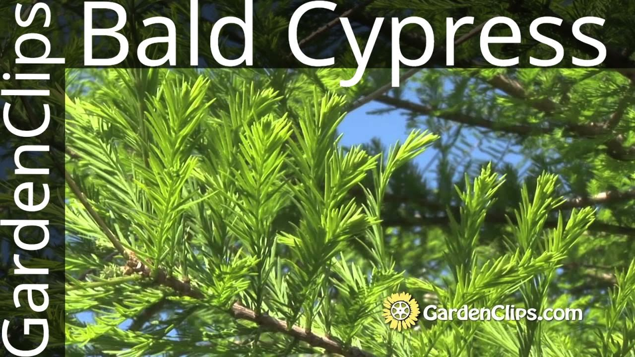 how to grow cypress trees from cuttings