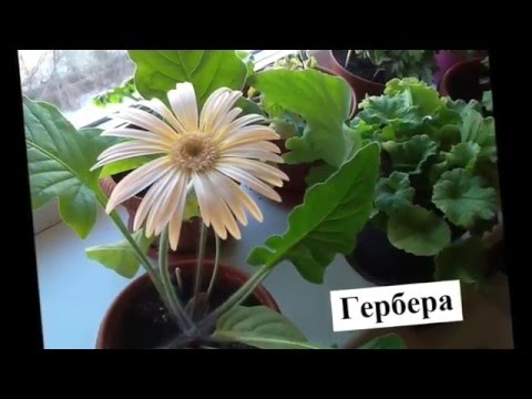 Седум, очиток цветы Фото, выращивание, сорта, уход Sedum