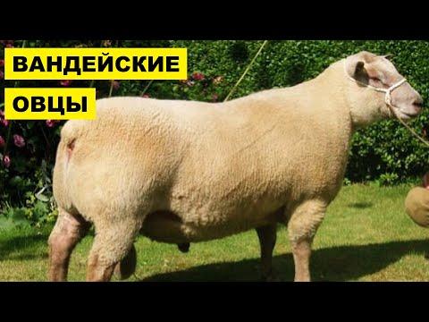 Разведение овец Вандейской породы как бизнес идея | Овцеводство | Вандейские овцы