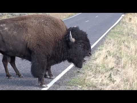 Bison Bellowing in Yellowstone