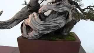 (HD141) Trophée des 4 frontières 2012 : Pinus mugho flying dragon | Bruno BELTRAME