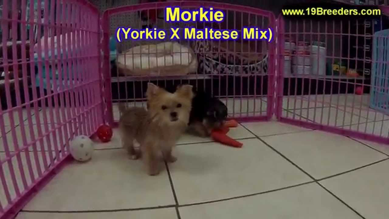 Morkie, Puppies, Dogs, For Sale, In Little Rock, Arkansas, AR, 19Breeders,  Fayetteville, Jonesboro