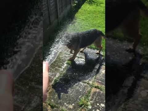 German Shepherd Cooling Down