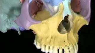 Анатомия человека. Череп.