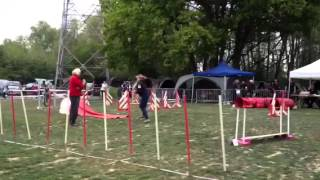 Yorkshire Terrier Linus - Agility Jumping