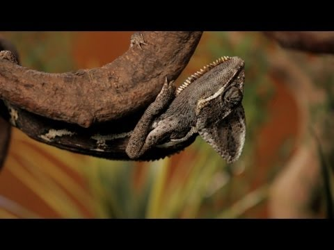 7 Cool Facts about Chameleons | Pet Reptiles