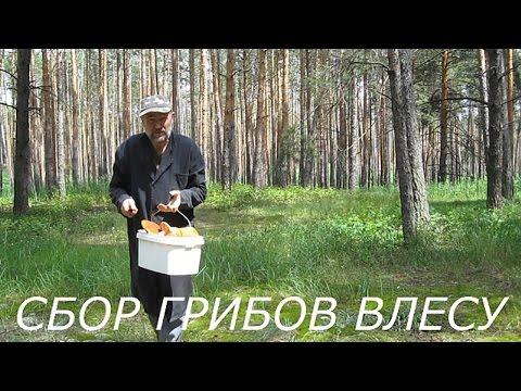 Сбор грибов в лесу.Поход в лес за грибами.Грибы Воронежской области.Какие грибы растут в июне