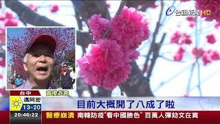 后里泰安櫻花季展開粉色美景遊客搶拍