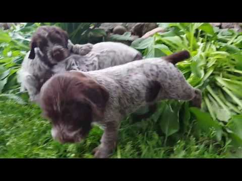 Ruffled Feathers Kennel Griffon puppies
