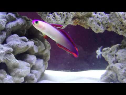 Purple Fire Goby & Benggai Cardinal Fish