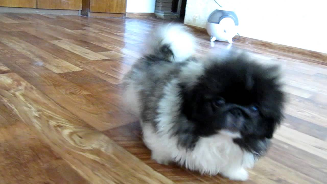 Hello, please tell me how Pekingese dogs are small children. Is there a danger 62