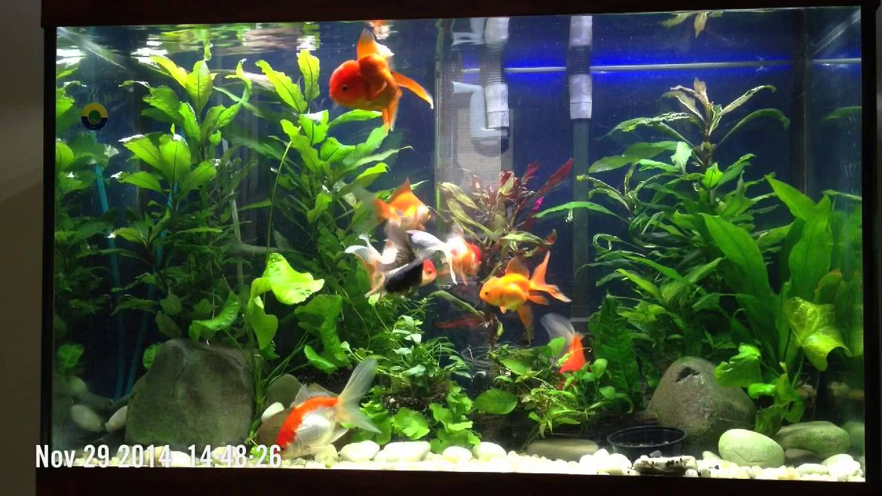 30 Gallon Planted Goldfish Tank Updated 1 Youtube