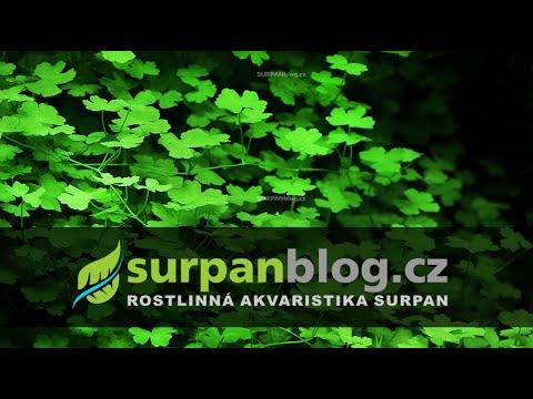 Hydrocotyle tripartita sp. japan - Pupečník trojdílný - aquarium plant (fullHD)