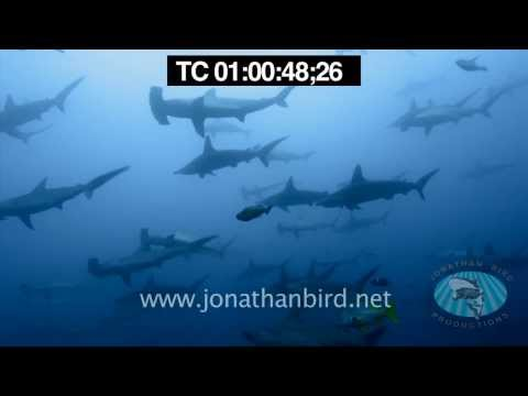 Scalloped Hammerhead sharks underwater stock video footage 3