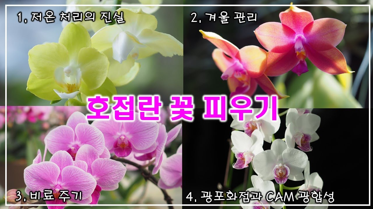 호접란 꽃 피우기 ,   이 영상으로 싹 정리!! (저온처리, 겨울관리, 비료주기, 빛)