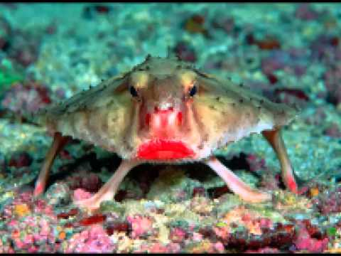 Red Lipped Batfish Fast Facts