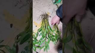Phiên trưa 4/1 vài loại lan đẹp cho bác bác sưu tầm phiên chợ ngày hôm nay