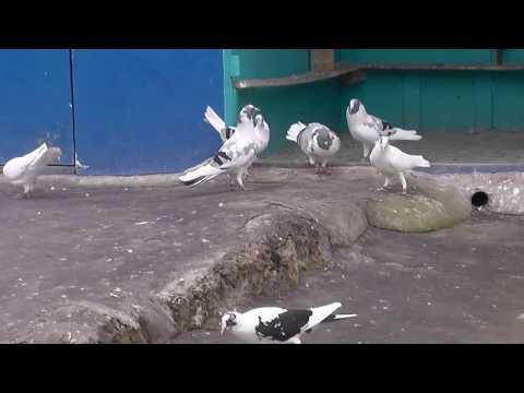 Macedonian Pigeons 1 - Prytanis