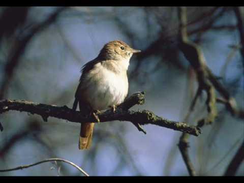Yanni-Nightingale