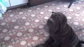 Charley And Millie, Shar Pei (pictures And Video)