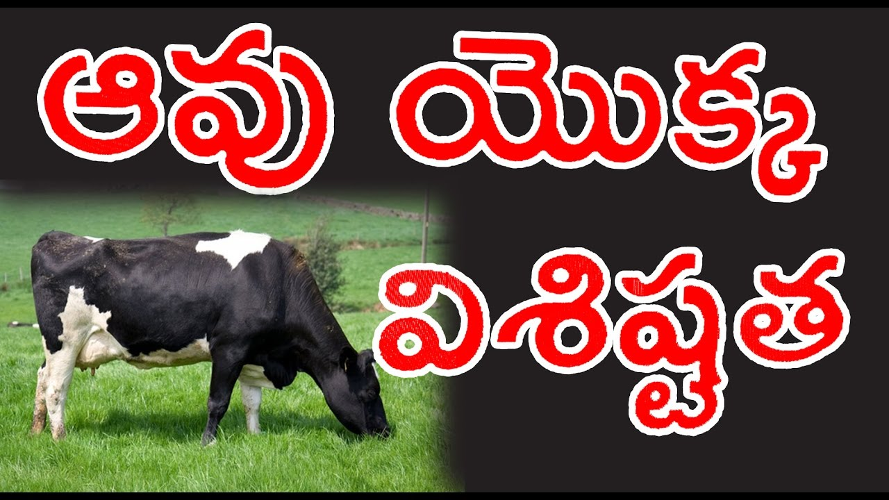 Cow is a domestic animal.