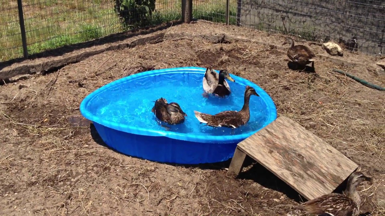 Our Ducks 1st Time In The Kiddie Pool Youtube