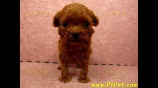 12/25 紅貴賓 tiny teacup poodle -公幼犬-日新犬舍