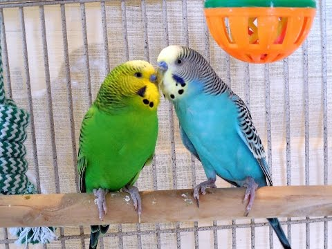 Fantastic Summer Parakeets Chirping. Pleasant Nature Sounds Of Pet Budgies. 2Hr Of Stress Reduction.