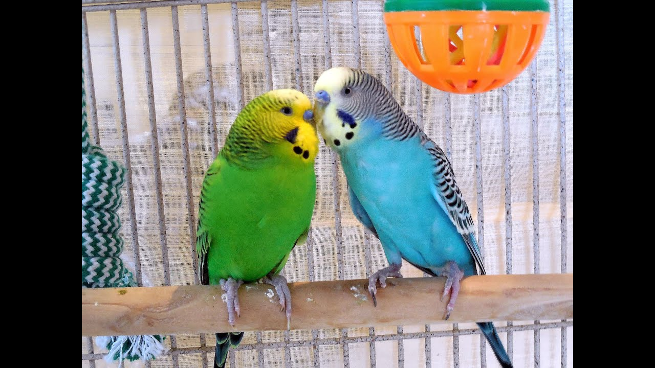 Fantastic Summer Parakeets Chirping  Pleasant nature sounds of pet budgies   2Hr of stress reduction